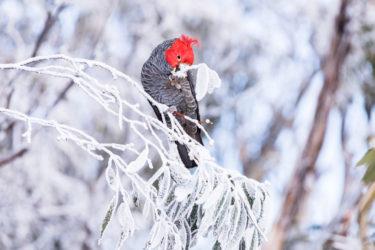 南半球のスキー場で今、何が起こっているのか コロナをめぐる最新事情① -オーストラリア編 | The damage COVID-19 is dealing to ski resorts in the Southern hemisphere.